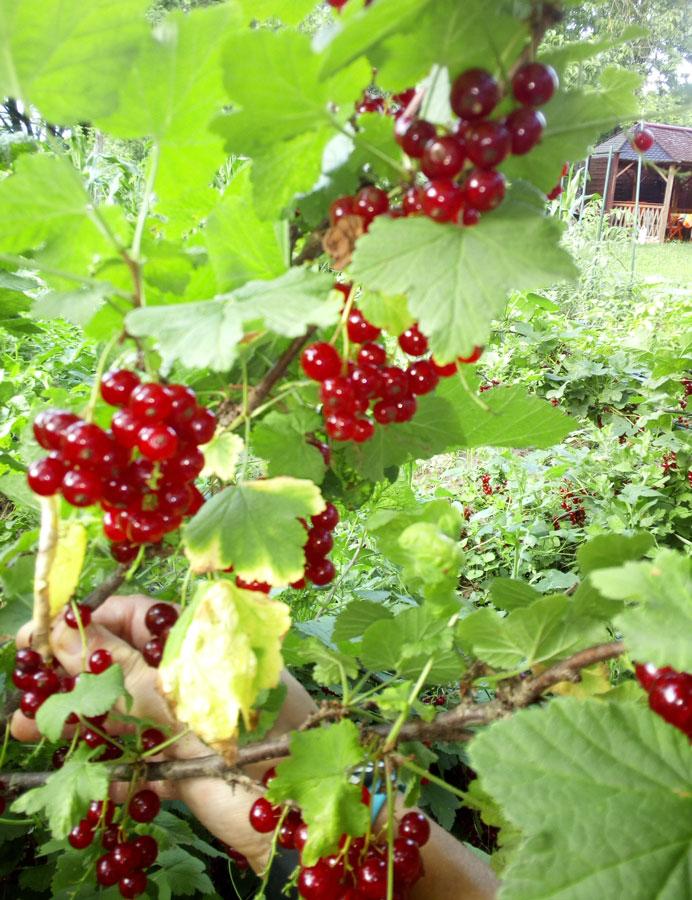 Červené ovocie - ríbezle