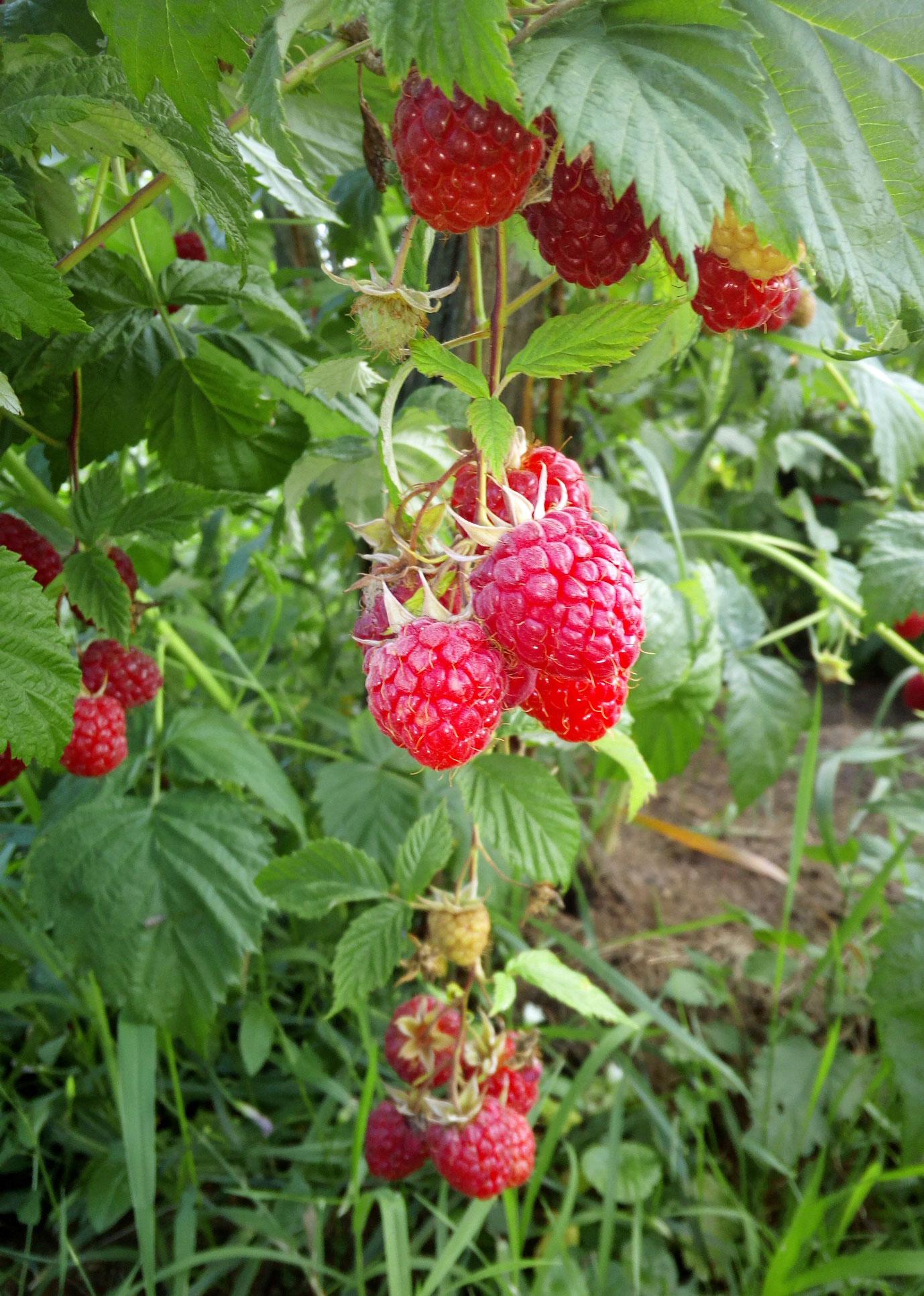 Červené ovocie - maliny